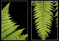 FRONDS (#0554 + #0548)